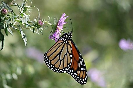Monarch ( Danaus plexippus)